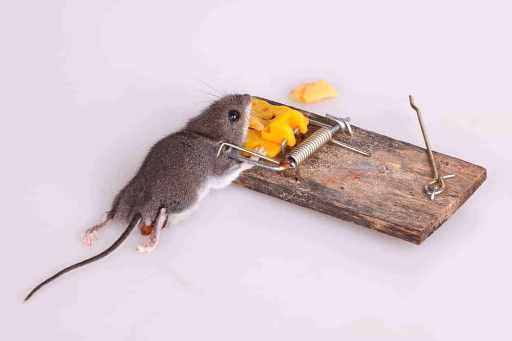 How to use mouse traps safely with children:kids