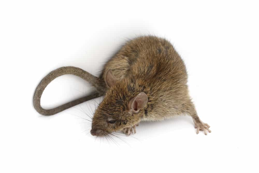 how noise helps to get rid of mice